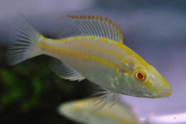 Albino Malawi Eye Biter