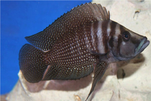 Black Pearl Calvus