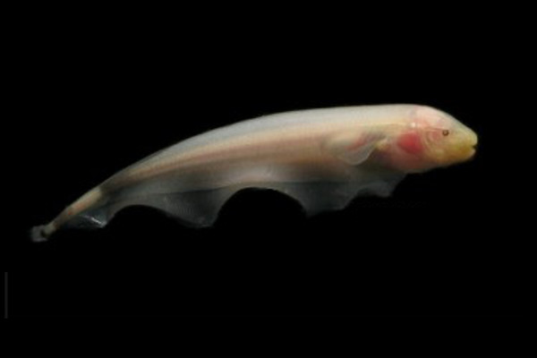 Black ghost knifefish (Pink)