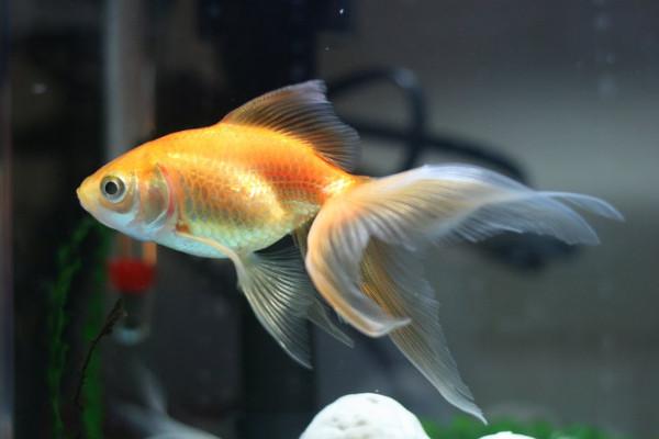 Fantail Goldfish