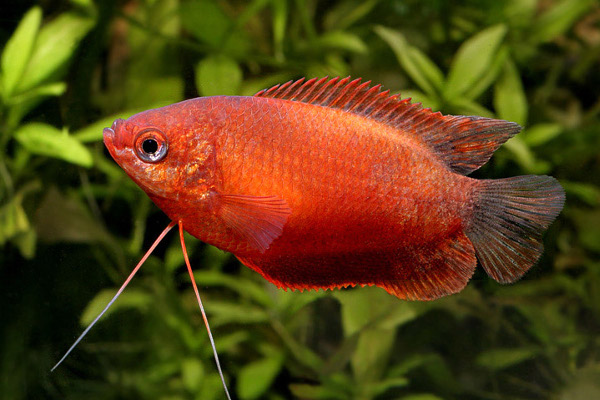 Red honey gourami