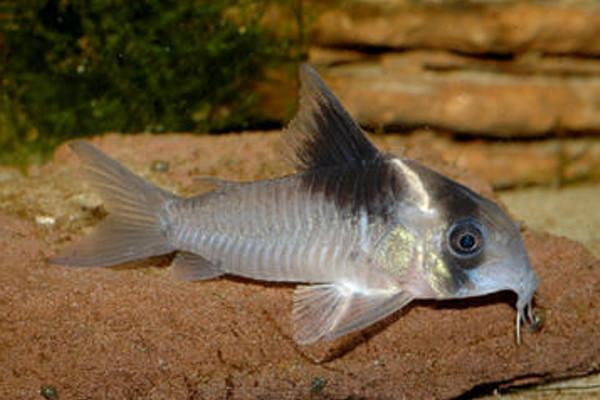 Corydoras cf. bicolor