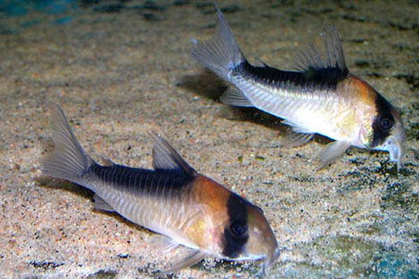 Duplicareus corydoras
