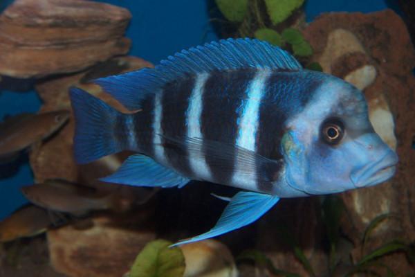 Blue Zaire Frontosa