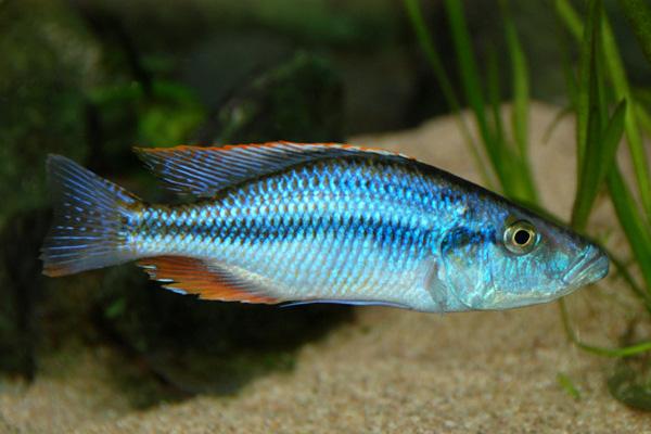 Malawi Eye Biter