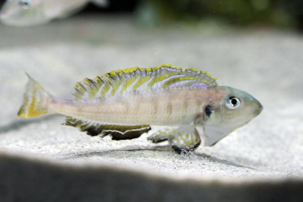 Enantiopus melanogenys