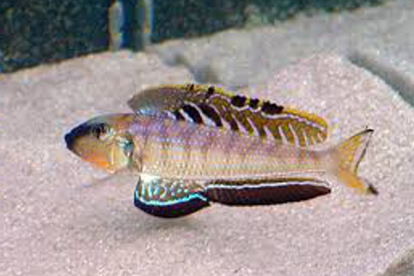 Enantiopus melanogenys utinta lake tanganyika for Lake tanganyika fish