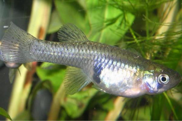 Female guppies