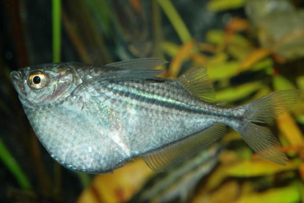 Silver hatchet fish