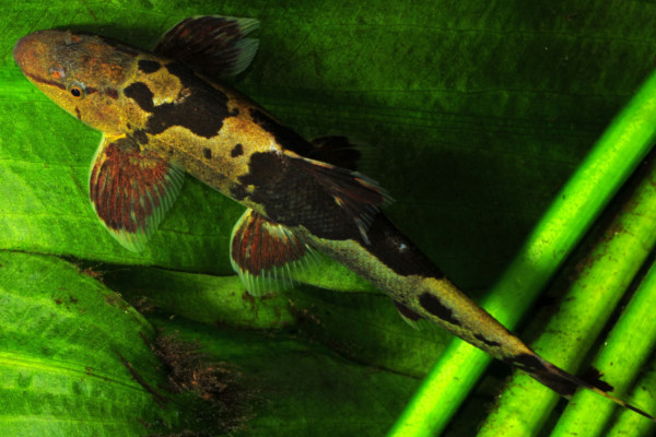 Marble lizard fish
