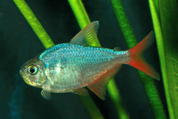 Red-blue Colombian tetra