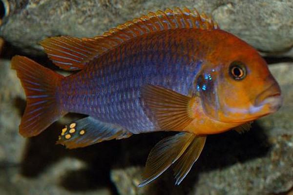 Rusty cichlid lake malawi african cichlids smiths for Lake malawi fish
