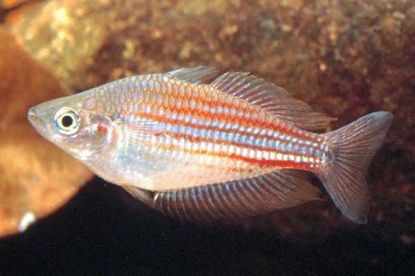 Utchee rainbow