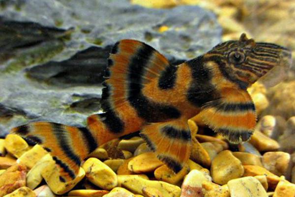 Panaqolus sp. L397 catfish