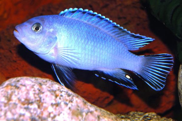 Pseudotropheus pindani