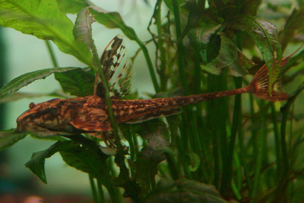 Red lizard whiptail catfish L010a