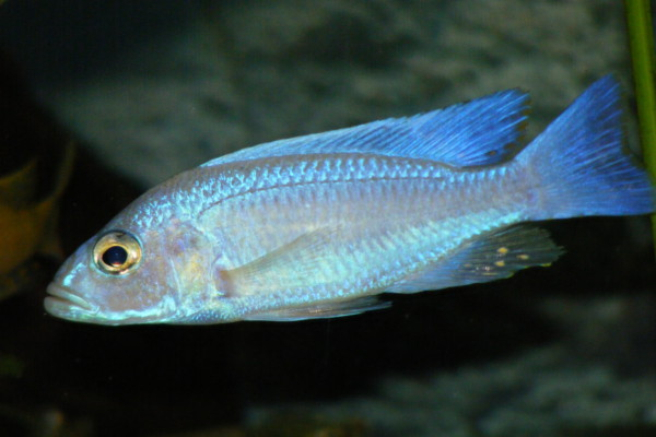 electric blue african cichlid - photo #26