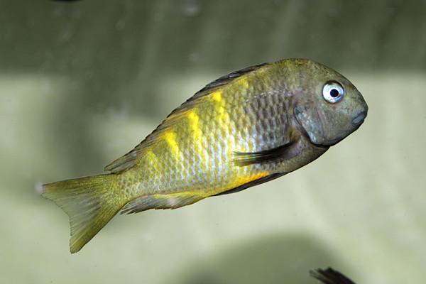 Tropheus Muzumi Green