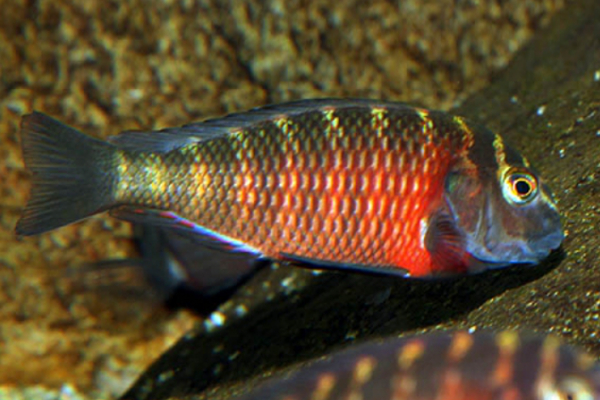Tropheus Lunangwa Red Cheek