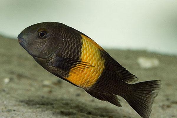 Tropheus Bemba Orange
