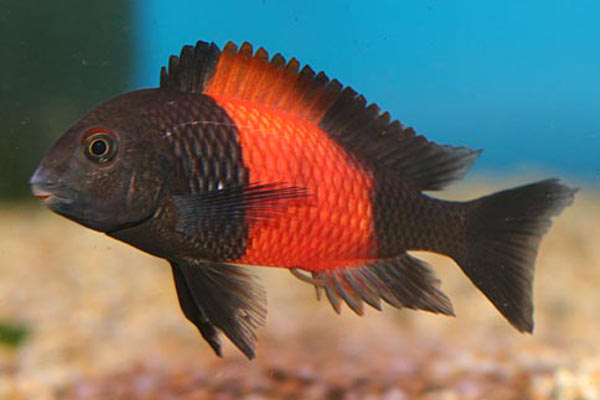 Tropheus Bemba Red