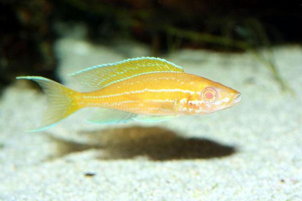 Albino Paracyprichromis nigripinnis Blue Neon