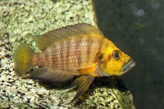 Gold Head Compressiceps
