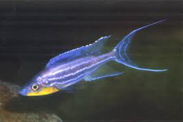 Giant featherfin lake tanganyika african cichlids for Lake tanganyika fish