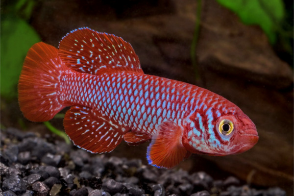Red finned nothobranch african killifish african for African freshwater fish