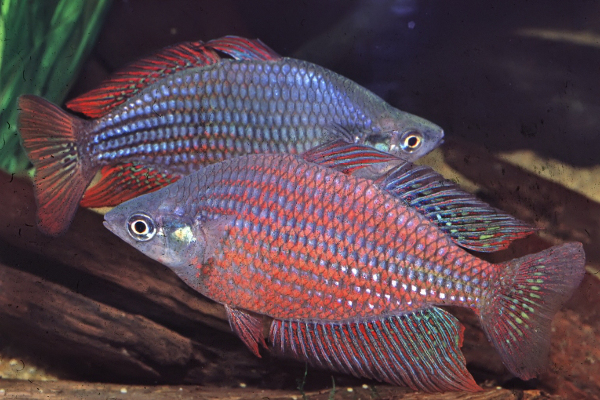 Red-striped rainbow