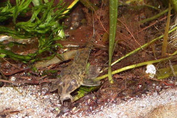 Sturisoma Foerschi Whiptail