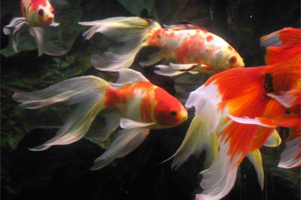 Pond Size Goldfish
