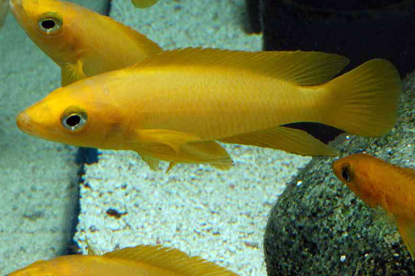 Neolamprologus leleupi yellow