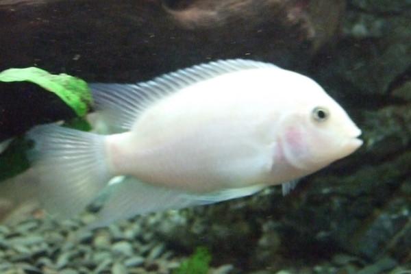 White Convict Cichlid