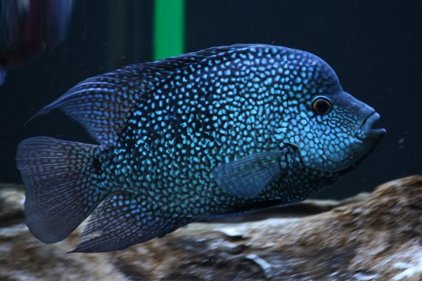 Super green texas cichlid central american american for Cichlid fish for sale