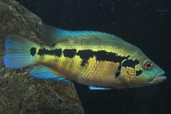 Wolf Cichlid Central American American Cichlids Fish Smiths