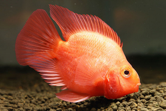 Blood parrot cichlid central american american for Parrot fish freshwater