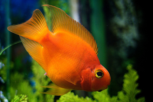 blood parrot cichlid central american american cichlids fish