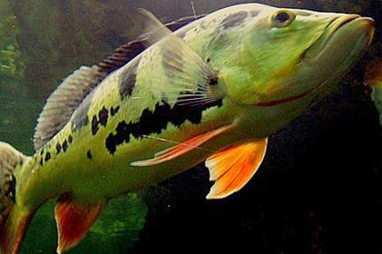 Info » Kelberi Peacock Bass » Aquarium Hobbyist Resource ... |Peacock Bass Aquarium