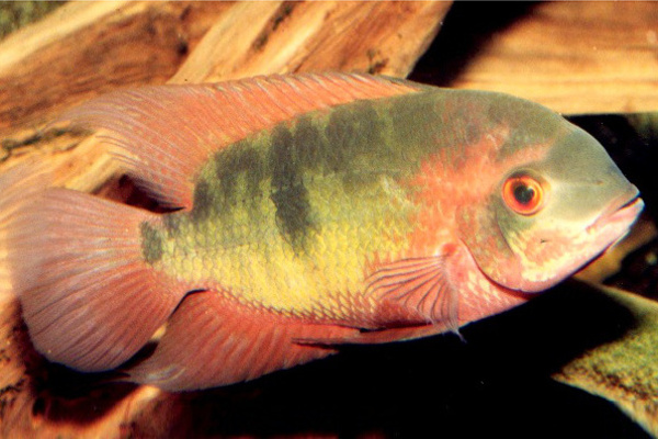 Temporalis - Chocolate Cichlid and Psicattus - True Parrot