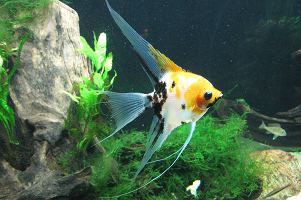 Assorted angel fish south american american cichlids for American koi fish
