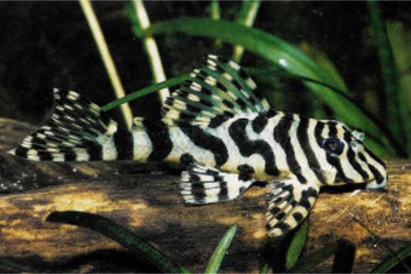Leopard Frog Pleco L134